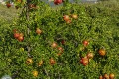 Granatäpfel überall