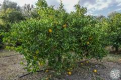 und Orangen