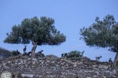Ziegen und Oliven. Das ist Griechenland