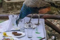 Pfauen beim Essen