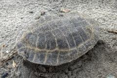 Eine tote Caretta-Meeresschildkröten