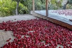 Überall werden Paprika getrocknet